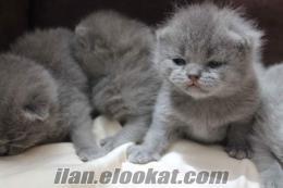 Anne Altından Scottish Fold Bebekler