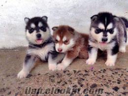 sibirya kurdu yavruları
