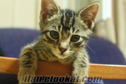 1.5 aylık bengal cinsi kediciğe yuva arıyorum