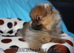 K9 Avrupa Satılık Pomeranian (Boo)