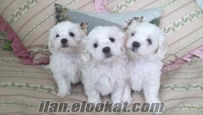 İstanbul maltese terrier