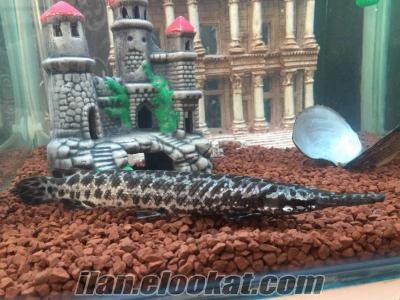 25 cm timsah balığı 150 litre dikey akvaryum ile birlikte