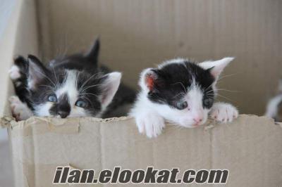 silivride 4 adet çok güzel yavru kedi