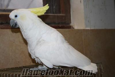 satılık kakadu papağanı