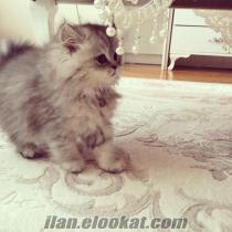 iran silver 4 aylık yavru