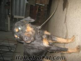 bursada satılık av köpekleri
