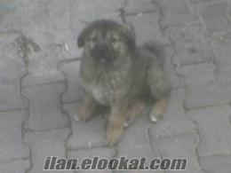 istanbulda sahibinden satılık kafkas çoban köpeği
