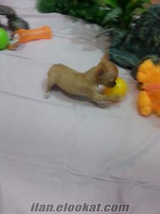 chihuahua yavruları satılık