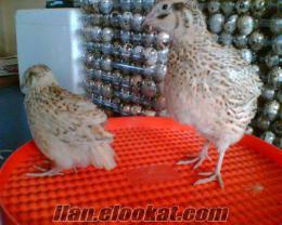 Satılık Süs Tavuğu Civcivleri ve Yumurtası