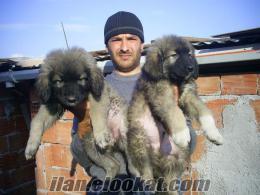 muhteşem kafkas çoban yavrular