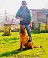ALMAN KURDU YAVRUSU