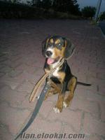 Av Merakı Olan Bu Köpeği Kaçırmasın (Kopoy, Kopay)