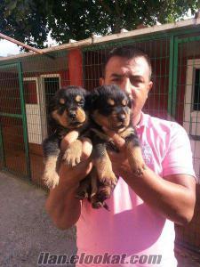 satılık rottweiler yavrularımız BURKEM