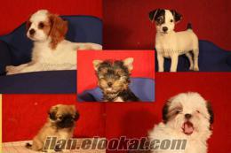 PET SHOPDAN DEĞİL K9 Avrupa Evcil Hayvan Çiftliğinden Satılık KÖPEK YAVRULARI