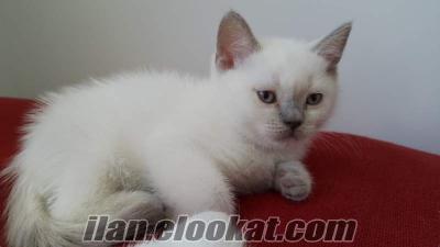 bursada anne altından british short hair blue point kedi