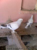 Akşehirde çakmaklı güvercin