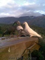 satılık taklacı güvercin çift eşli tek beyaz da hediyee