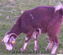 Dinarda boer goat keçi