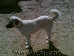 konya-ereğlie sahibinen satılık kangal köpeği