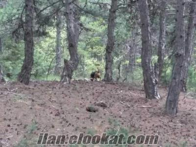 Eskişehir satılık av köpeği tavşancı