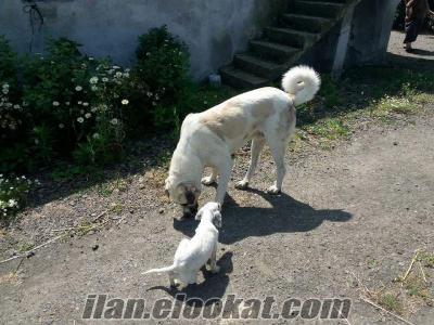 samsundan satılık kangal malakli kirmasi