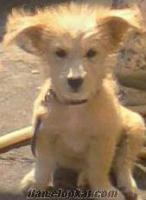 çanakkalede kaniş cinsi köpek aranıyor ! ! !