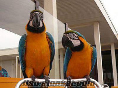 Tatlı evler için mavi ve altın Amerika papağanı