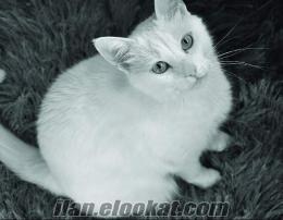 Kayseri Talas kayıp ankara kedisi