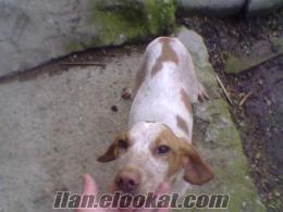 sinopta sahibinden satılık puanter avköpeği