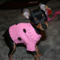 Yavru pincher köpek ücretsiz sahiplenmek istiyorum