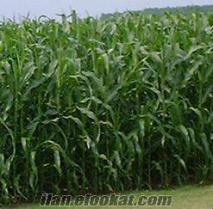 hibrit mısır tohumu, silajlık mısır çeşitleri