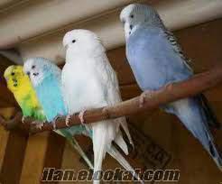 40 takım muhabbet kuşu