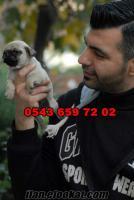 satilik pug yavrulari 0543 659 72 02