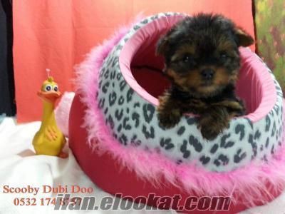 yorkshire terrier satılık yavruları
