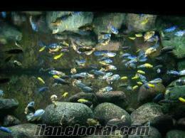 Satılık Ciklet balığı yavruları