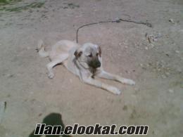 konya ereğli satılık kangal köpeği