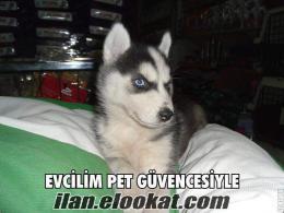 evcilim pet shop== firma garantili sibirya husky kurdu
