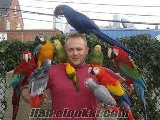 X-MAS satılık Amerika papağanı papağan