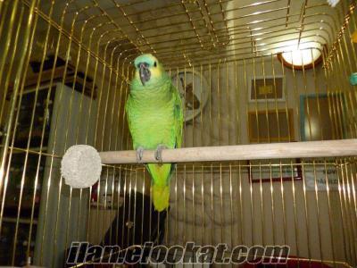 Satılık amazon papağanı