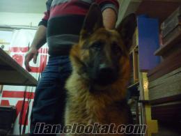 alman çoban köpeği 04.04.2011 tarihinde beylerbeyinde kaybolmuştur