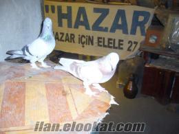 elazığda sahibinden satılık güvercin veya kuşlar