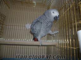 cites belgeli jako papağanları