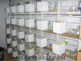 izmirden satılık eşli muhabbet kuşu