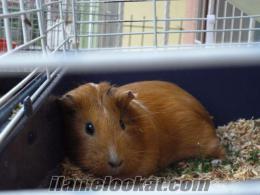 Satılık Guinea Pig