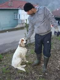 ingiliz setter av köpeği