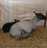 satılık romanov koyun kuzu ve koçlar sertifikalı saf ırk