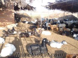 tokat turhalda sahibinden oğlaklı keçiler
