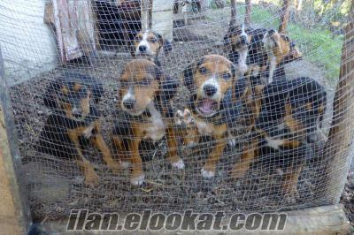 Satılık 3 aylık av köpekleri