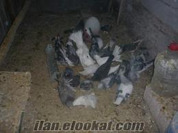satılık çok kaliteli taklacı mardin güvercinleri