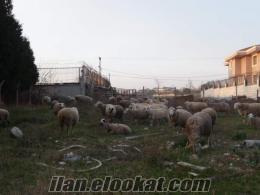 damizlik 17 koyun 1 koc 8 kuzu istanbul